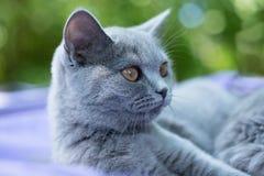 Brytyjski błękitnego kota portret w profilu Fotografia Stock
