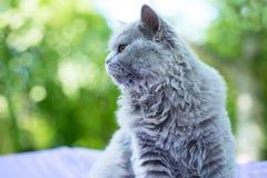 Brytyjski błękitnego kota portret w profilu Zdjęcia Royalty Free