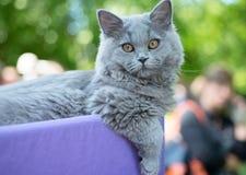 Brytyjski błękitny kot przy wystawą Obrazy Stock