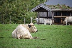 Brytyjski bielu parka byka obsiadanie na zielonym paśniku z stajenką w tle obraz royalty free