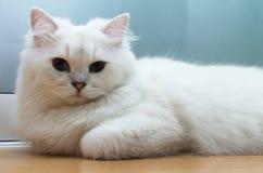 Brytyjski długie włosy biały kot kłaść w dół na podłoga z niebieskim okiem Zdjęcia Royalty Free