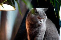 Brytyjski discontented śliczny kot Pojęcie zwierząt lub zwierząt domowych osobowości fotografia stock