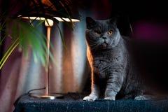 Brytyjski discontented śliczny kot Pojęcie zwierząt lub zwierząt domowych osobowości obraz royalty free