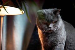 Brytyjski discontented śliczny kot Pojęcie zwierząt lub zwierząt domowych osobowości obrazy stock