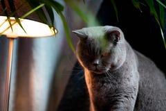 Brytyjski discontented śliczny kot Pojęcie zwierząt lub zwierząt domowych osobowości zdjęcia royalty free