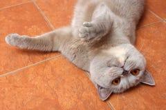 brytyjski kot Fotografia Stock