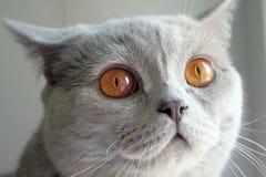 brytyjski kot Zdjęcie Stock