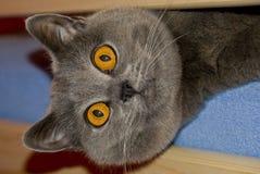 brytyjski kot Zdjęcie Royalty Free