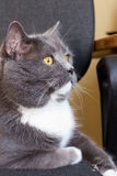 brytyjski kot Fotografia Royalty Free