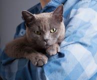 Brytyjski kot na ręce chłopiec studia strzał Zdjęcia Stock
