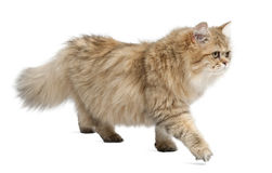 Brytyjski kot, starego 4 miesiąc, odprowadzenie Zdjęcie Royalty Free