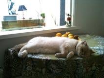 Brytyjski kota dosypianie na stole zdjęcia stock