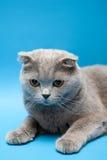 brytyjski kota włosy skrót fotografia royalty free