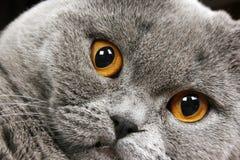 brytyjski kota włosy skrót obrazy stock