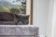 Brytyjski krótkiego włosy kota dosypianie Obraz Stock