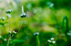 Brytyjski motyl z zielonym tłem obraz royalty free