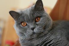 Brytyjski shorthair Fotografia Stock