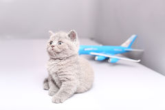Brytyjski Shorthair dziecko patrzeje samolot Obraz Stock