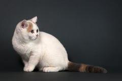 Brytyjski Shorthair figlarka Zdjęcie Royalty Free