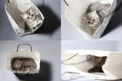 Brytyjski Shorthair figlarka w torbie, siatka 2x2 Zdjęcie Stock