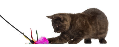 Brytyjski Shorthair figlarka z kij zabawką odizolowywającą na bielu obraz royalty free