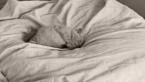 Brytyjski Shorthair figlarki błękitny dosypianie na łóżkowych prześcieradłach, łapy up zbiory