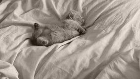 Brytyjski Shorthair figlarki błękitny dosypianie na łóżkowych prześcieradłach, łapy up zdjęcie wideo