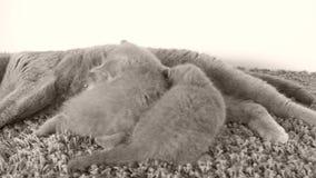 Brytyjski Shorthair figlarki wykarmiają od matki na miękkim dywanie, kopii przestrzeń zbiory wideo