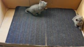 Brytyjski Shorthair koci się bawić się w dużym pudełku zdjęcie wideo