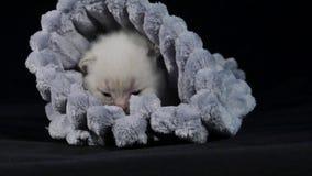 Brytyjski Shorthair koci się chować w miękkim płótnie zdjęcie wideo