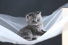 Brytyjski Shorthair koci się na białej sieci, śliczny portret obraz stock