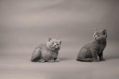 Brytyjski Shorthair kotów portret, biały tło Obraz Royalty Free