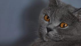 Brytyjski Shorthair kota portret, kota mruganie zdjęcie wideo