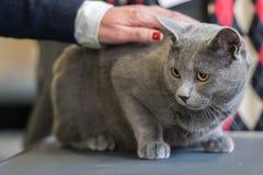 Brytyjski shorthair kota zakończenie up Zdjęcia Royalty Free
