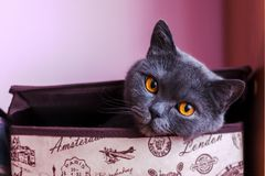 Brytyjski shorthair kota zbliżenie, patrzeje bezpośrednio przy kamerą zdjęcie stock