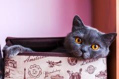 Brytyjski shorthair kota zbliżenie, patrzeje bezpośrednio przy kamerą zdjęcia royalty free