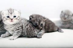 Brytyjski Shorthair śliczni dzieci Fotografia Royalty Free
