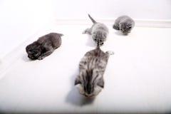 Brytyjski Shorthair śliczni dzieci Fotografia Stock