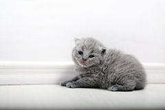 Brytyjski Shorthair śliczny dziecko Obrazy Stock