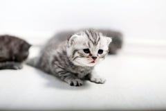 Brytyjski Shorthair śliczny dziecko Fotografia Stock