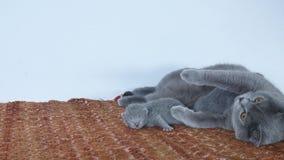 Brytyjski Shorthair matki czekanie karmić ona figlarki zbiory wideo