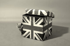 Brytyjski Shorthair na pudełku Fotografia Royalty Free