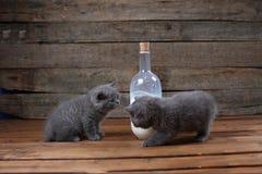 Brytyjski Shorthair nowonarodzone figlarki blisko butelki mleko Fotografia Stock