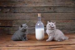 Brytyjski Shorthair nowonarodzone figlarki blisko butelki mleko Fotografia Royalty Free