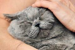 Brytyjski shorthair tomcat lying on the beach w rękach jego cieszyć się uderzanie i kochanka zdjęcie stock