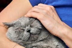 Brytyjski shorthair tomcat lying on the beach w rękach jego cieszyć się uderzanie i kochanka fotografia stock