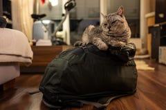 Brytyjski Shorthair tomcat obsiadanie na backback zdjęcie stock