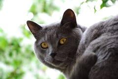 Brytyjski shorthair tomcat z żółtymi oczami fotografia stock