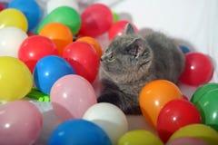 Brytyjski Shorthair wśród balonów Fotografia Stock