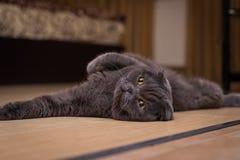 Brytyjski szary kota lying on the beach na jego z powrotem obrazy stock